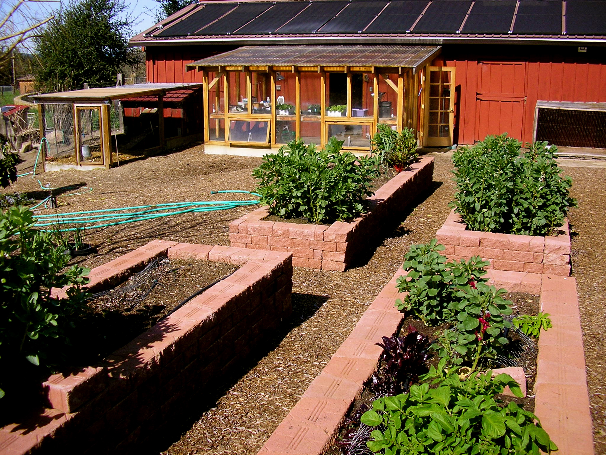 Here are the barn veggies at Rancho Pillow with the greenhouse and the chicken coop in the background.