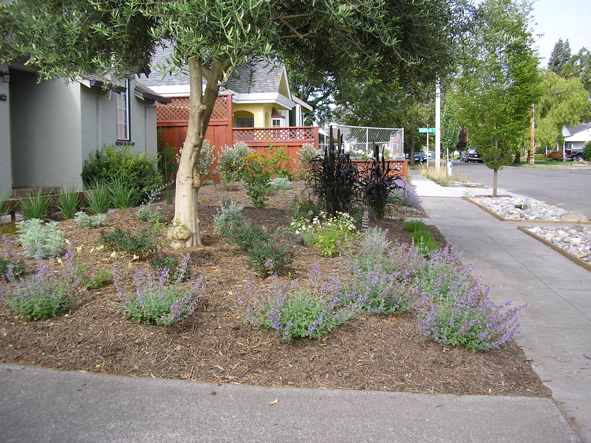 Here's an MML design/install that features catmint, millet, euphorbia, and pineapple guavas in the background.