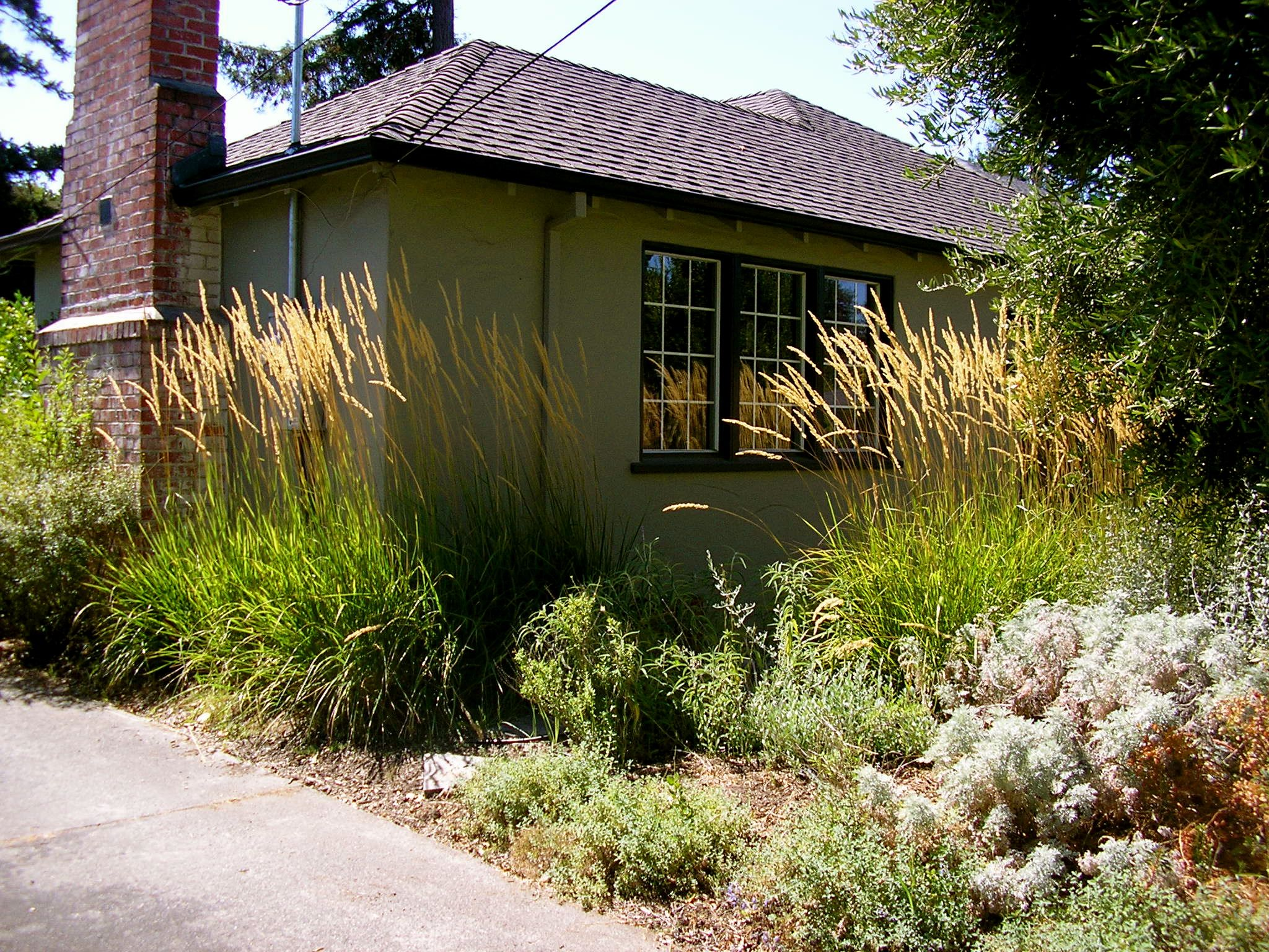 Calamagrostis Karl Foerster provide the sort of structure in a landscape usually occupied by boxwoods. Artemesia, catmint, and an olive tree in the foreground.