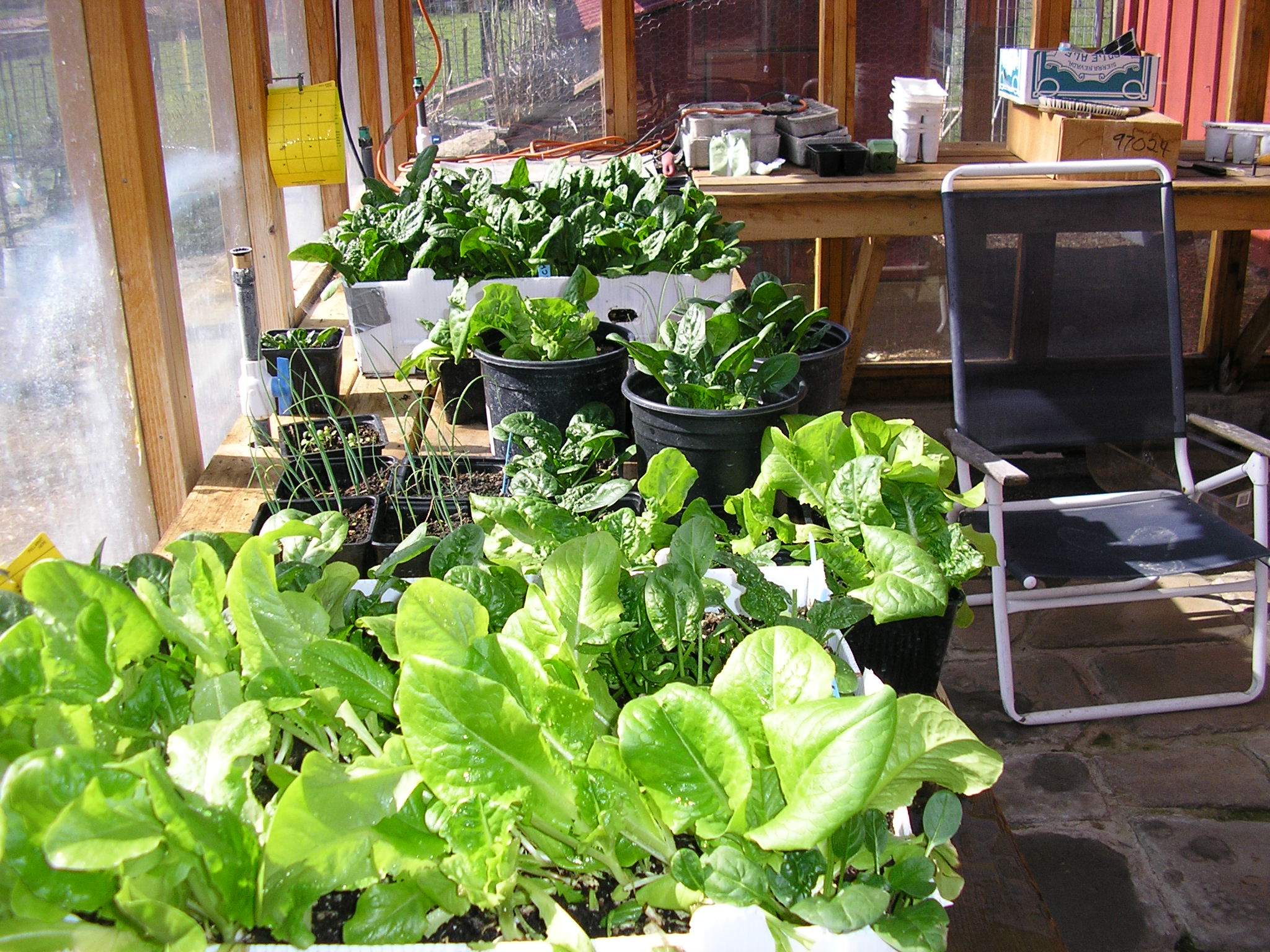 Here's some lettuce and spinach along with various seedings in the greenhouse.