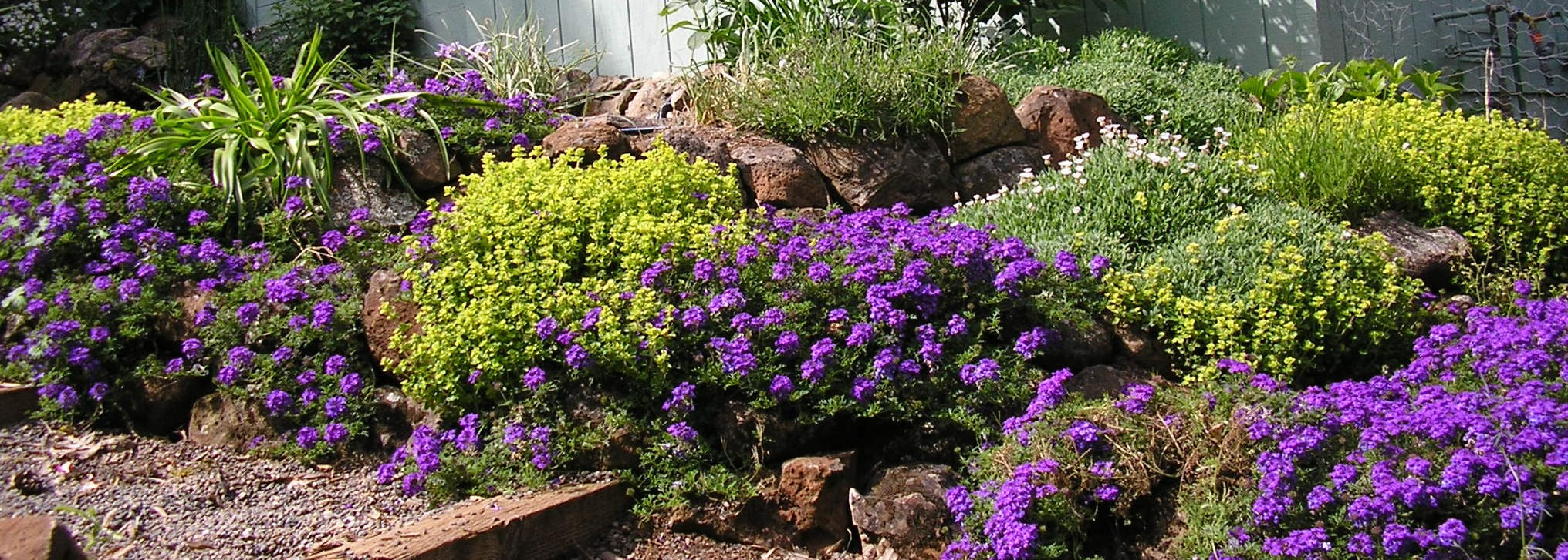 Here is some verbena and oregano in a garden installed by MML in 2004, which it continues to maintain.